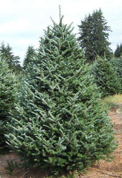 Christmas Trees at McClure's Tree Nursery